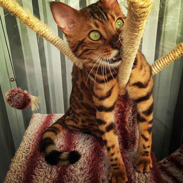 Thor chat Bengal