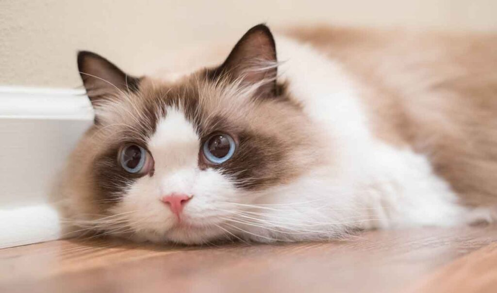 soin chat Ragdoll