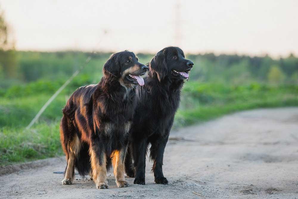 chien Hovawart