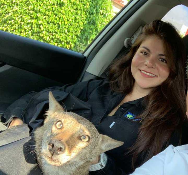 femme sauve chien coyote