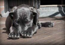 amende chien balcon