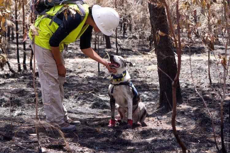 Bear chien héros sauve koalas