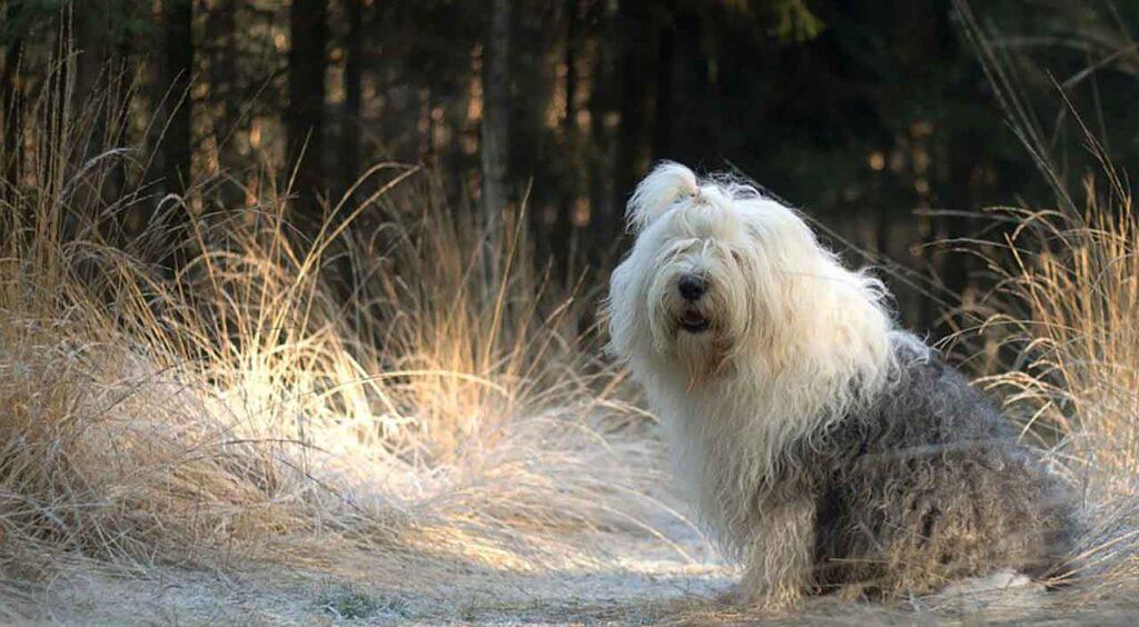 chien Bobtail