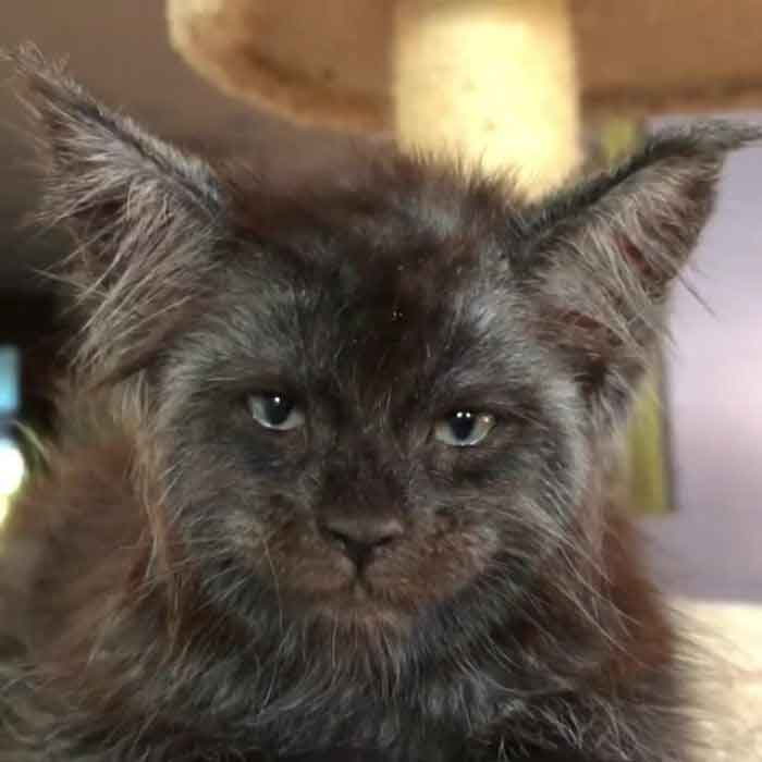 Chat valkyrie maine coon visage humain
