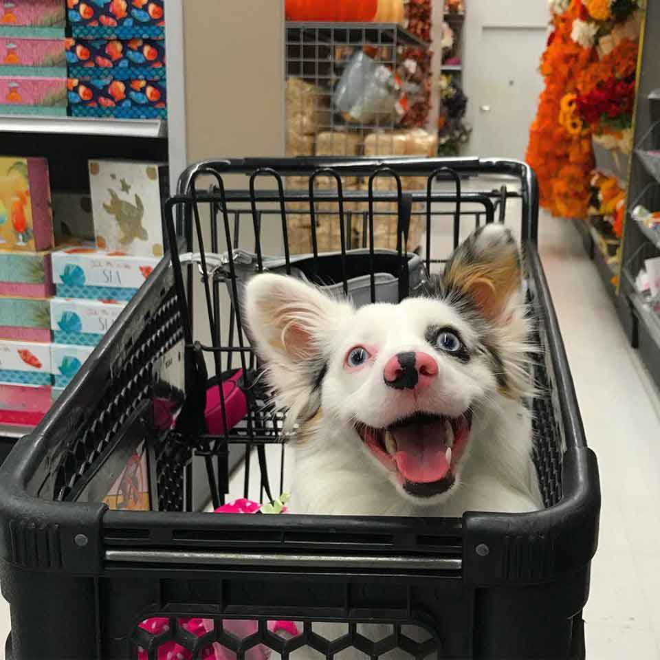 Zira Corgi Aussie shopping