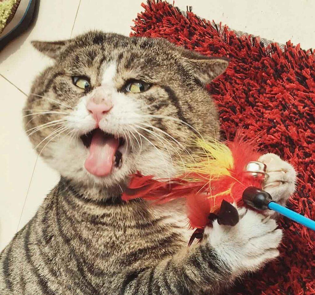 Ah Fei chat fait grimaces