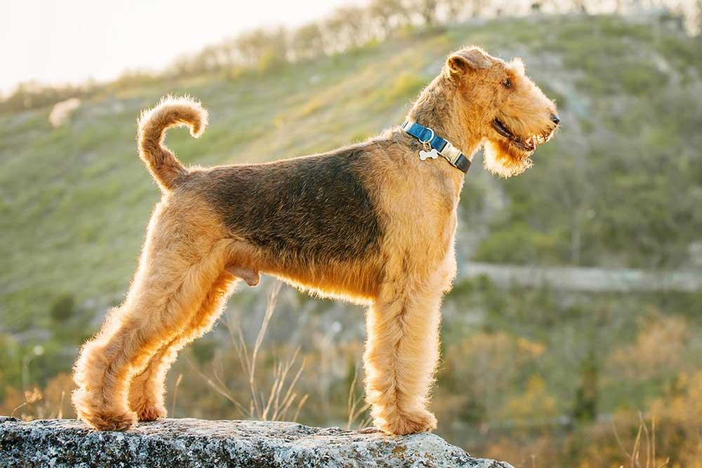 identifier race chien Terriers de grande et moyenne taille