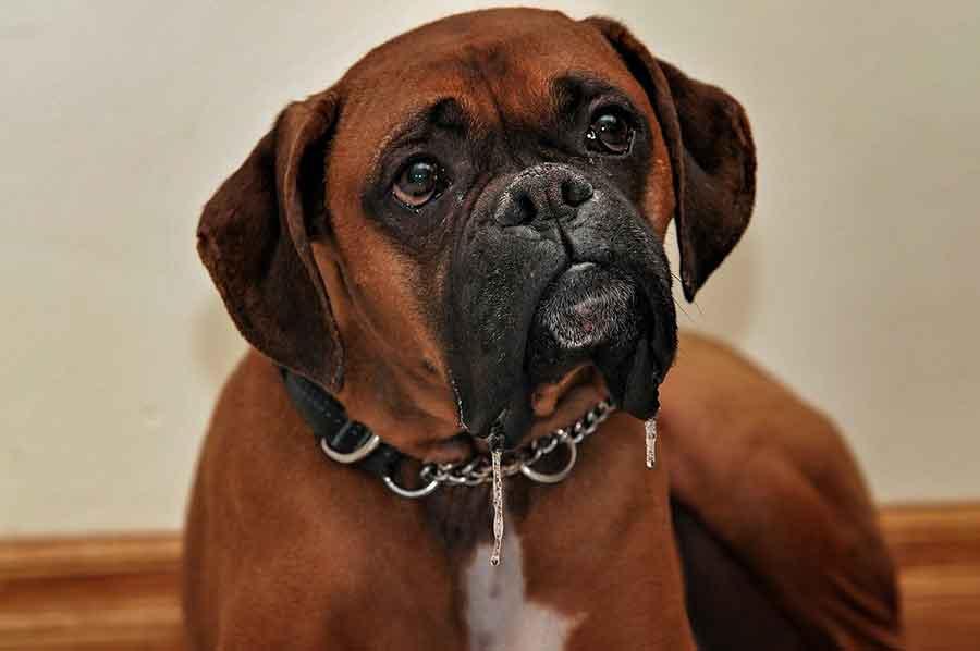 Boxer allemand