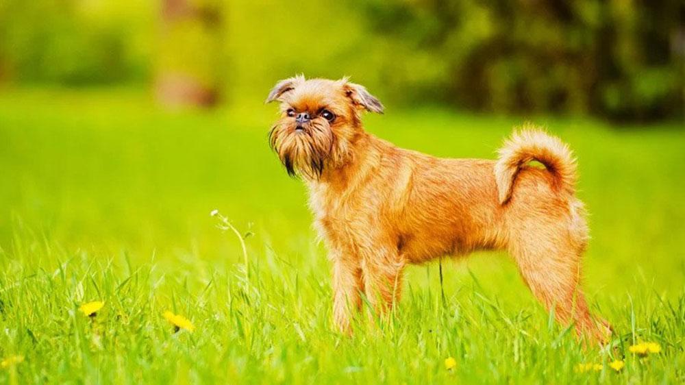 identifier race chien Chiens belges de petite taille