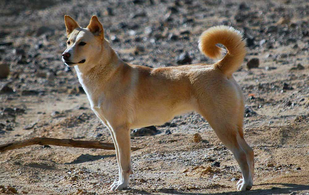 identifier race chien Type primitif