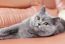 chats Chartreux