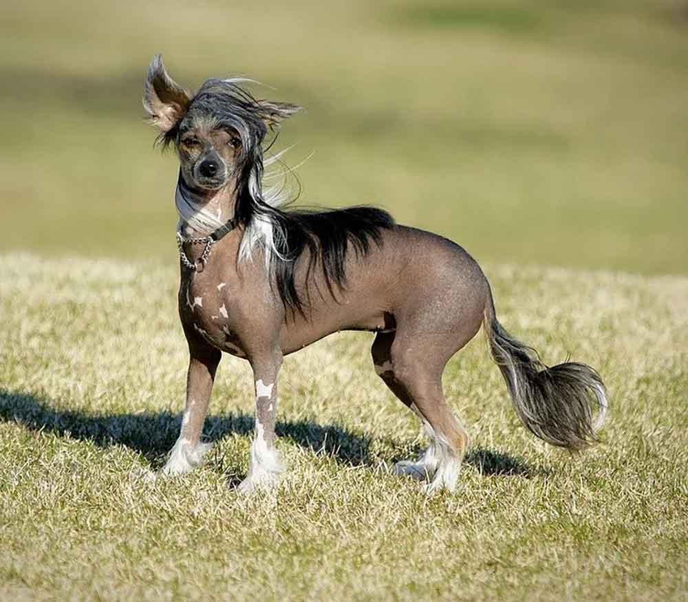identifier race chien Chiens sans poils