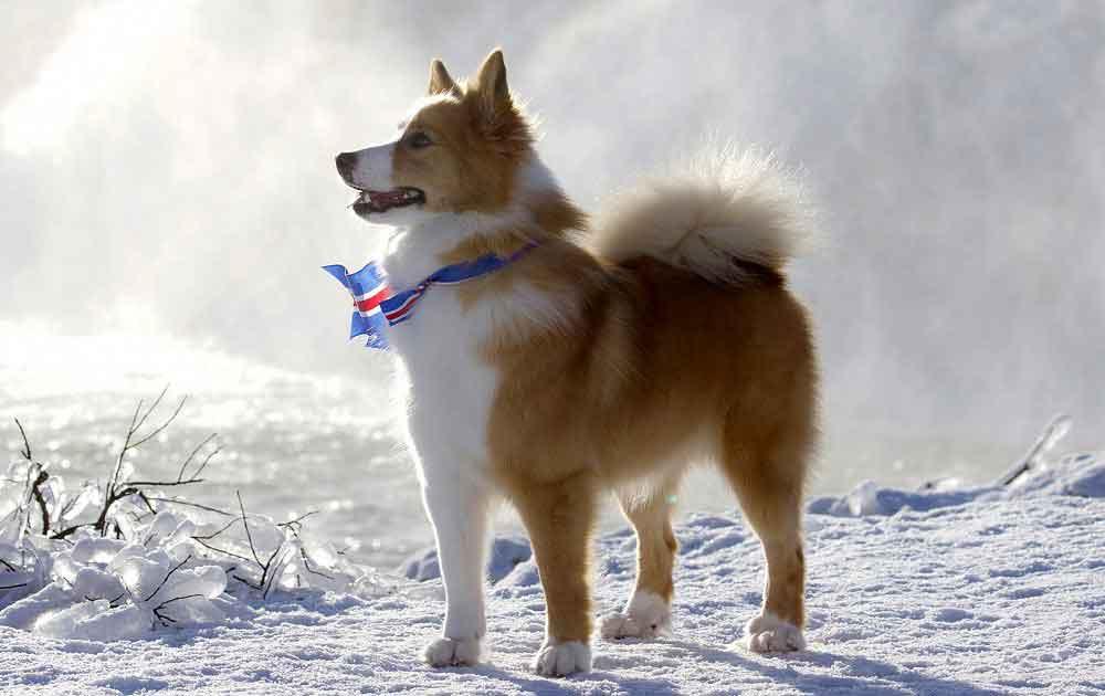 identifier race chien Chiens nordiques de garde et de berger