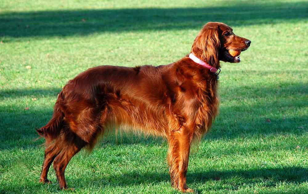 identifier race chien Chiens d'arrêt britanniques et irlandais