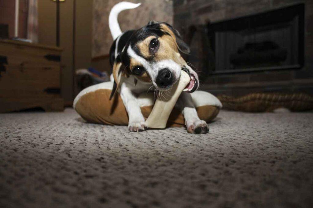 Mastication destructive chien