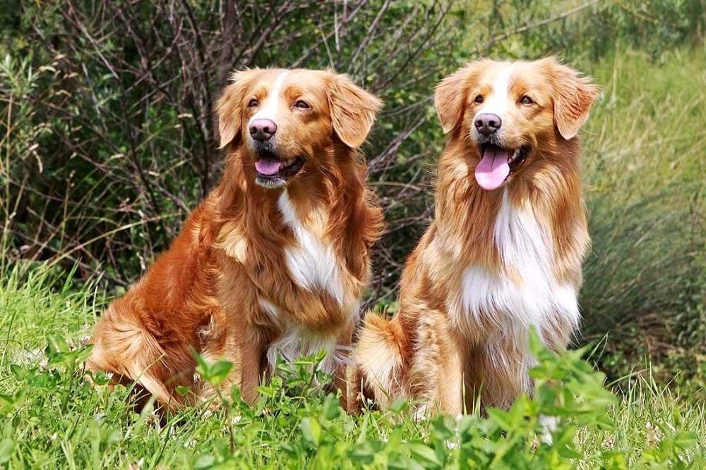 identifier race chien Rapporteurs de gibier