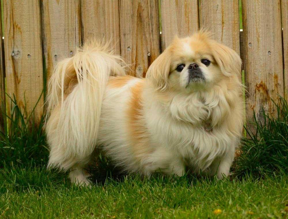identifier race chien Épagneuls japonais et pékinois