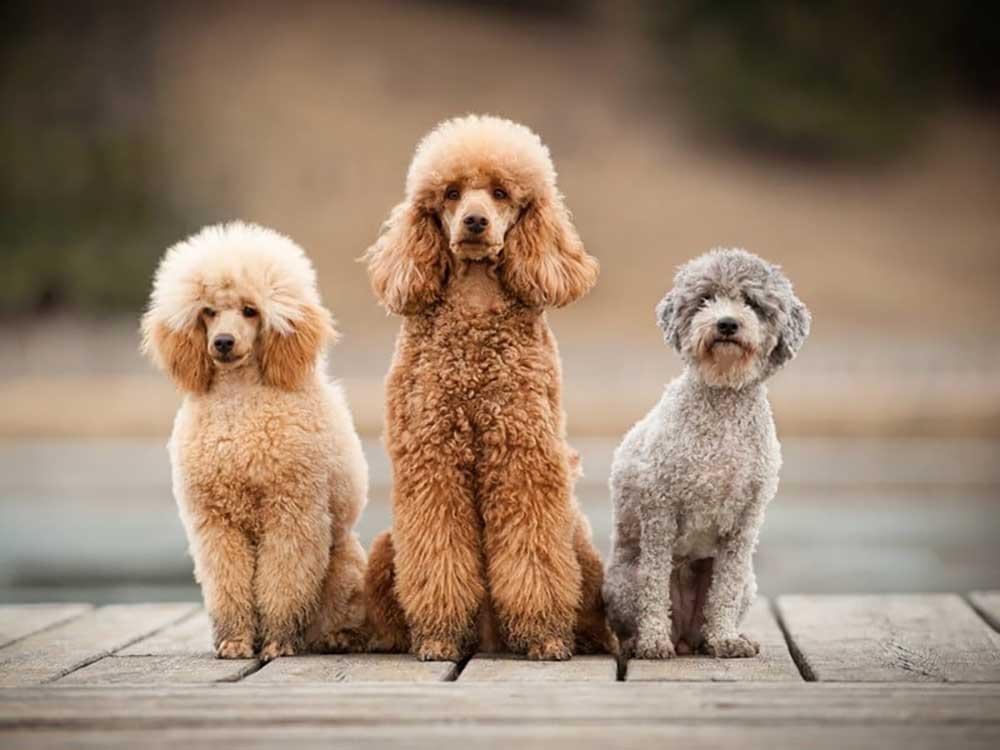 identifier race chien Caniches