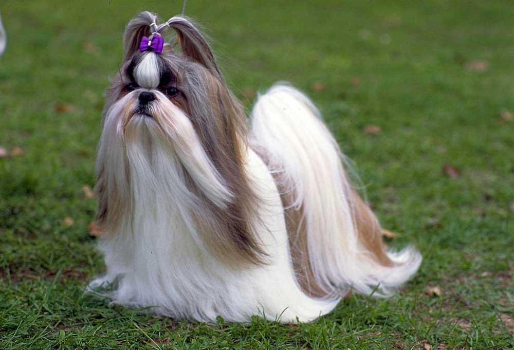 identifier race chien Chiens tibétains