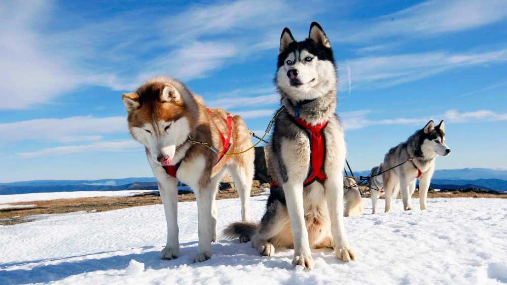 identifier race chien Chiens nordiques de traîneau