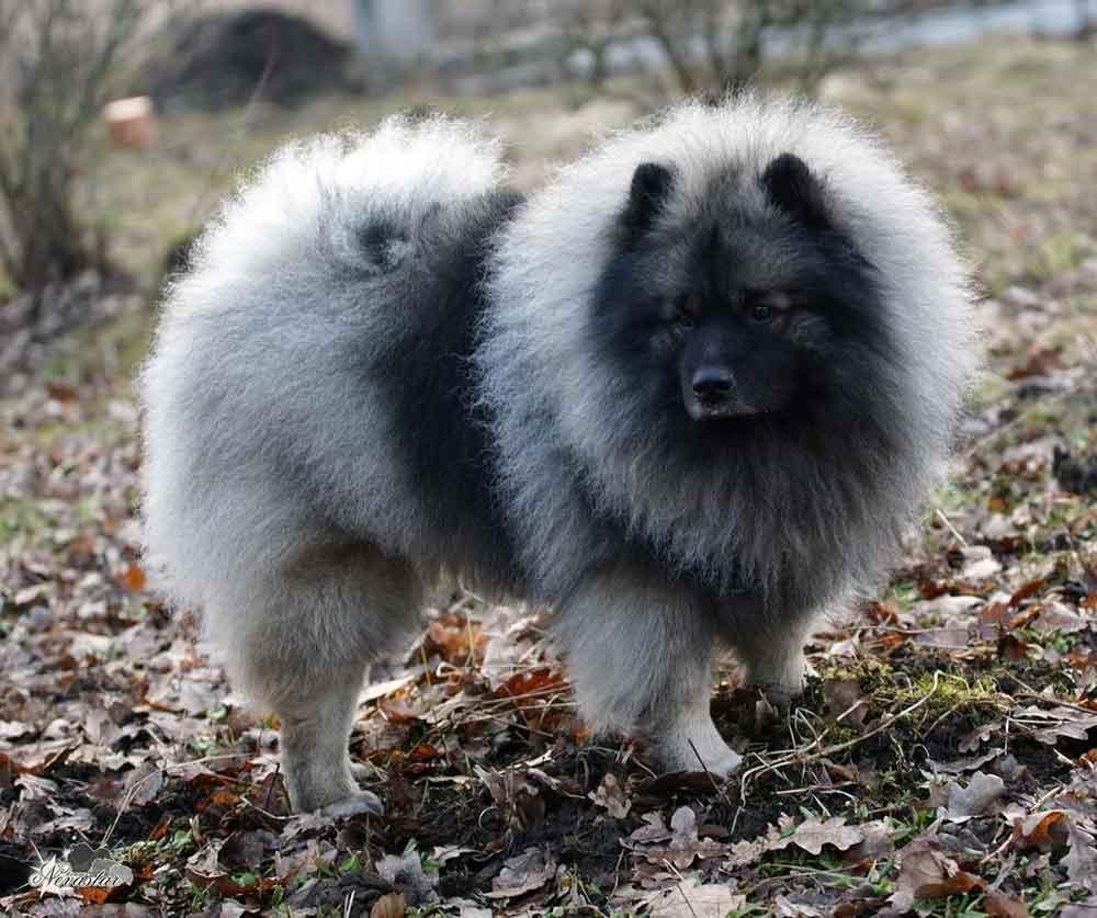 identifier race chien Spitz européens