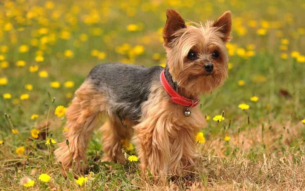identifier race chien Terriers d'agrément