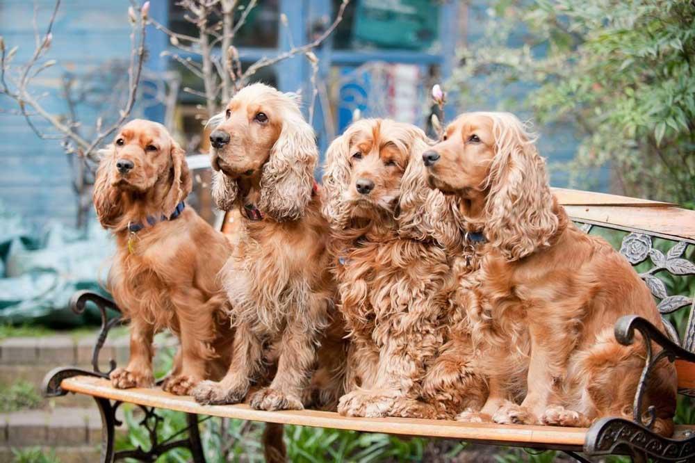 identifier race chien Chiens leveurs de gibier et broussailleurs