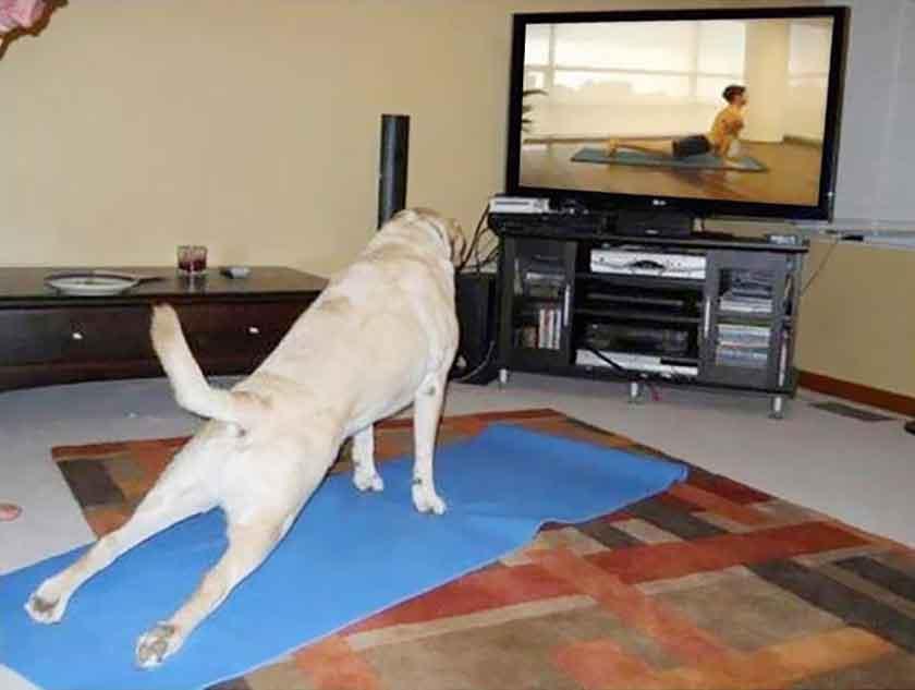 chiens yoga