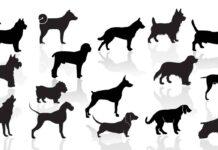 identifier race chien