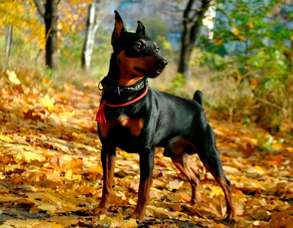 identifier race chien Pinscher et Schnauzer