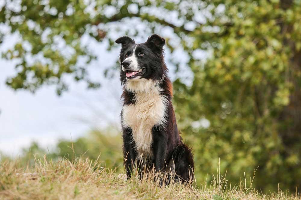 identifier race chien Chiens de berger