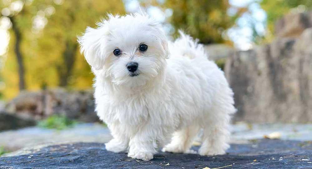 identifier race chien Bichons et races similaires