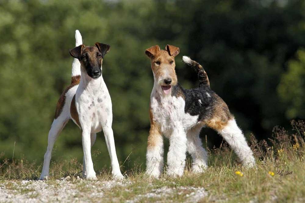 meilleures races de chiens appartement