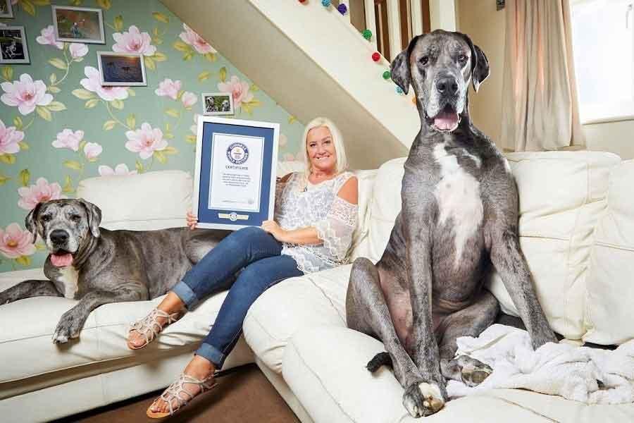 Freddy dogue allemand plus grand chien monde