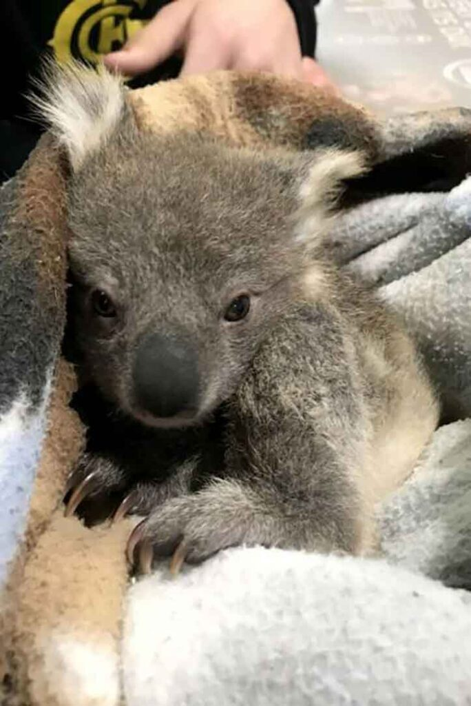 Golden Retriever surprend Koala sauvé