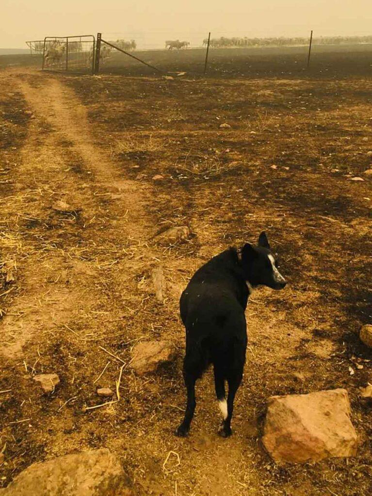 Patsy chien courageux sauve troupeau Incendies Australie