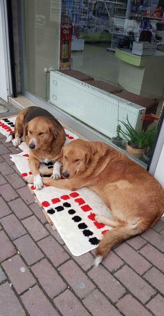 Banu Cengiz chien errant Remède pharmacie