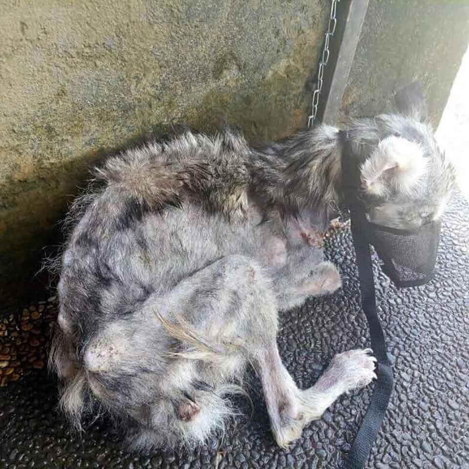 Hope Husky retrouvée mal nourri
