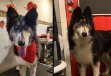 Husky abandonnée refuge cause apparence étrange