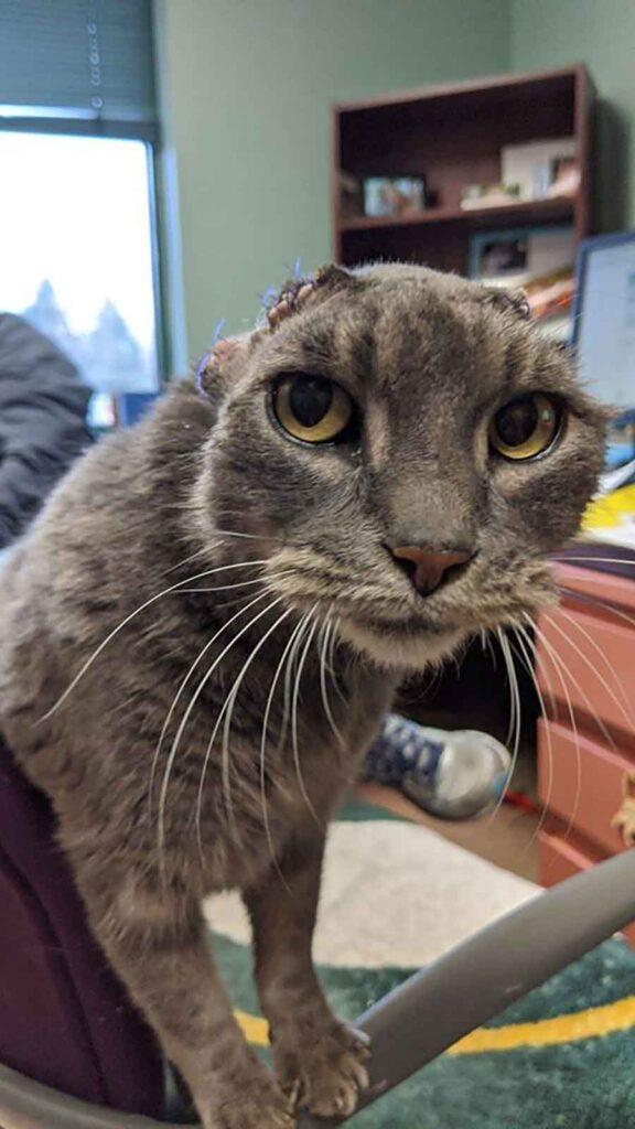 Lady chat perdu oreilles volontaires nouvelle paire