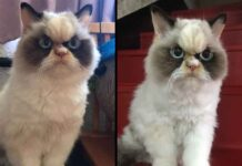 Meow Meow nouveau chat grincheux