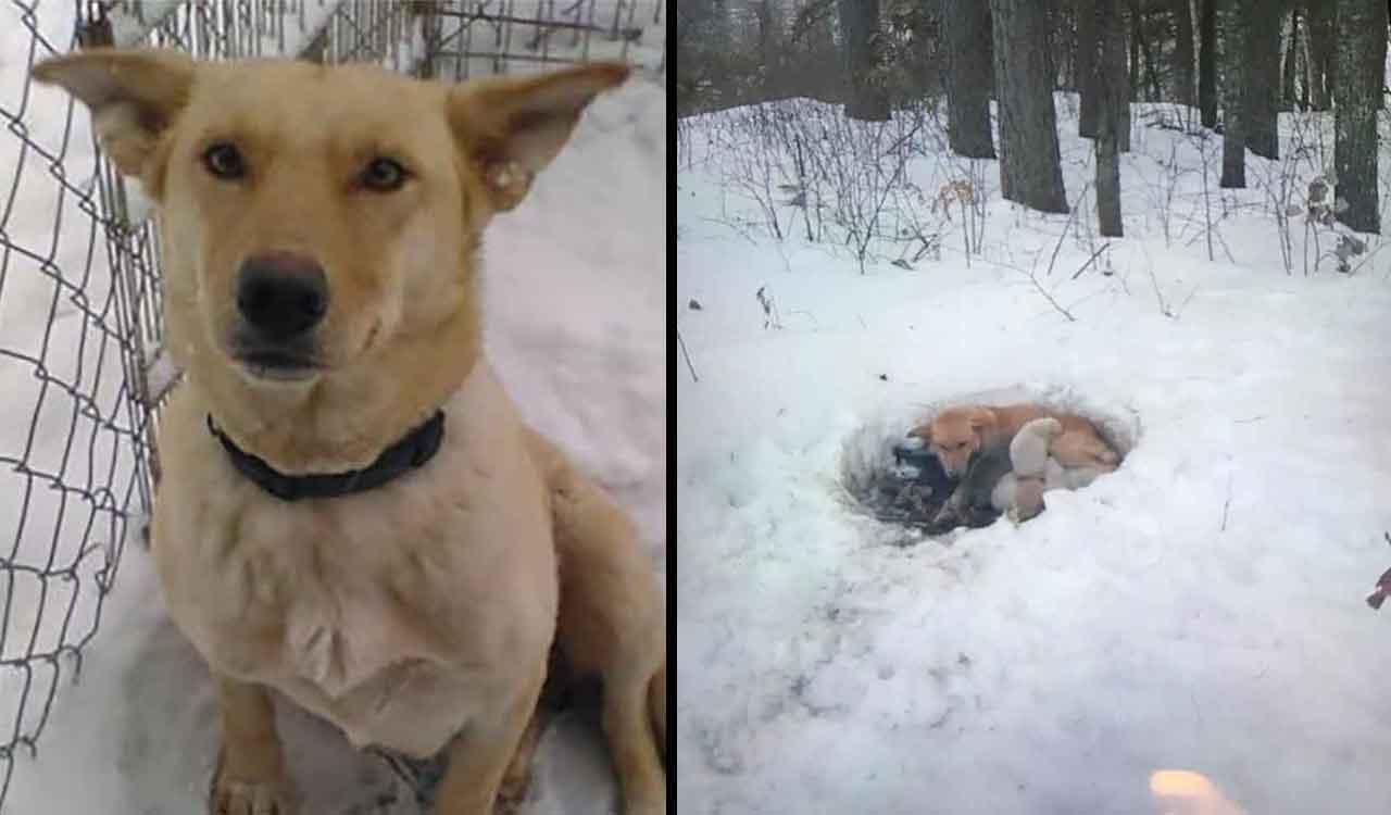 chien Snowbelle trouvé neige protégeant bébés froid
