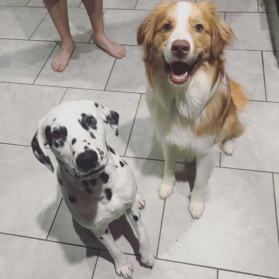 chien insiste protéger propriétaire enceinte