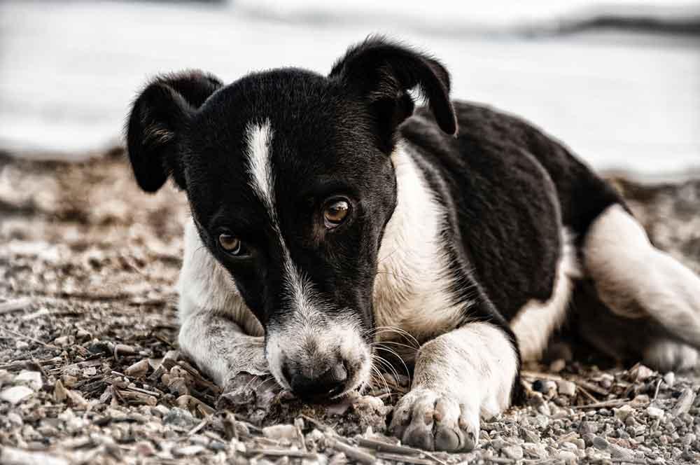 Crier chien traumatisme stress