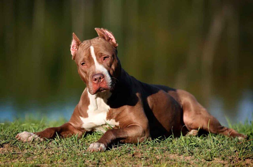 races chiens morsure puissante Pitbull américain