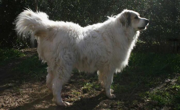 chien berger de l'Atlas Aïdi