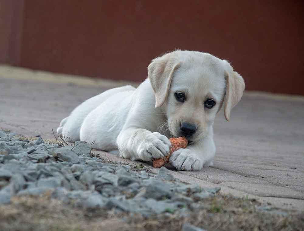 Avantages carottes chiens