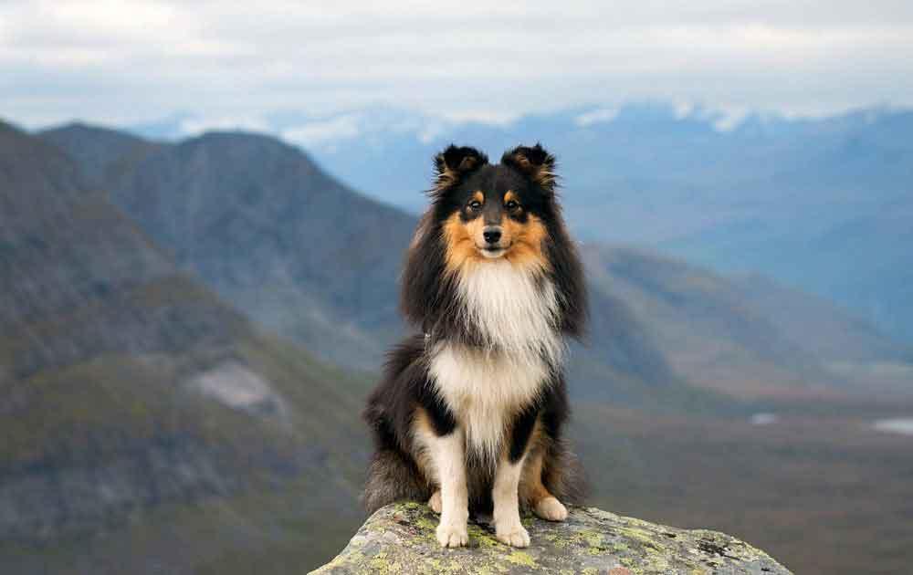 Berger des Shetland - Sheltie