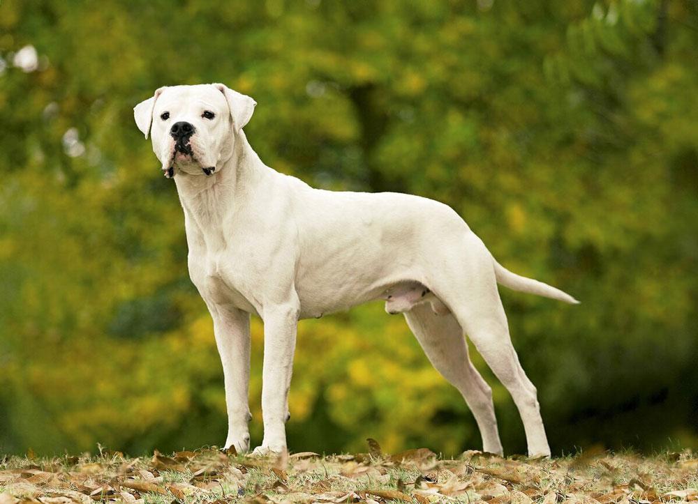 races chiens morsure puissante Dogue argentin