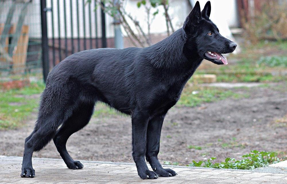 Berger allemand noir